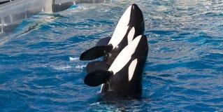 Dos ballenas de asesino en la acción Fotos de archivo