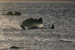Dos ballenas en la puesta del sol, Wellington New Zealand de la orca imagen de archivo