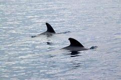 Dos ballenas experimentales en las aguas fuera de las Azores Foto de archivo libre de regalías