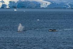 Dos ballenas jorobadas que se zambullen debajo imagen de archivo