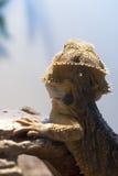 Dos barbu de dragon Photographie stock