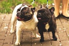 Dos barros amasados blancos y negros lindos para un paseo en el parque Foto de archivo