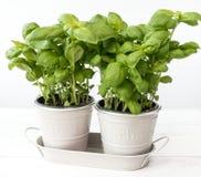 Dos Basil Plants en potes del metal Fotografía de archivo