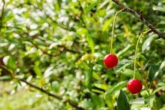 Dos bayas de cereza madura en una rama en el fondo verde Foto de archivo libre de regalías