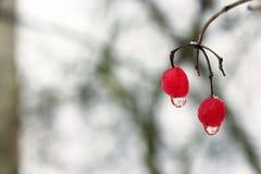 Dos bayas de viburnum con descensos congelados del agua Trucos del invierno Imagen de archivo