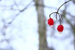 Dos bayas de viburnum con descensos congelados del agua Trucos del invierno Imágenes de archivo libres de regalías