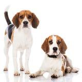Dos beagles Fotos de archivo libres de regalías