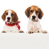 Dos beagles Imágenes de archivo libres de regalías