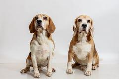 Dos beagles Fotografía de archivo