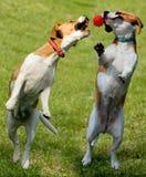 Dos beagles con la bola Foto de archivo libre de regalías
