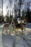 Dos beagles en invierno Fotos de archivo libres de regalías