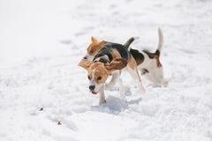Dos beagles que corren en nieve Fotografía de archivo