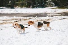 Dos beagles que juegan en nieve Imagen de archivo
