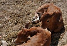 Dos becerros en la granja foto de archivo libre de regalías