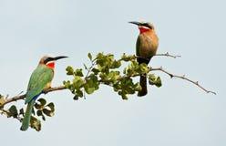 Dos bee-eaters afrontados blancos en una ramificación Fotografía de archivo