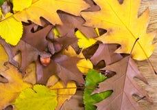 Dos bellotas marrones que mienten en las hojas del roble del otoño Imágenes de archivo libres de regalías