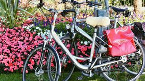 Dos bicicletas de plata se inclinan cara a cara contra un seto floral denso de flores rosadas brillantes imagenes de archivo