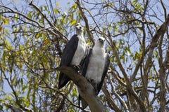 Dos Blanco-hincharon los pescados Eagle en el parque nacional de Kakadu, Australia Foto de archivo