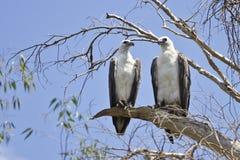Dos Blanco-hincharon los pescados Eagle en el parque nacional de Kakadu, Australia Imagen de archivo