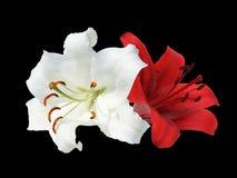 Dos blancos y lirio rojo Foto de archivo libre de regalías