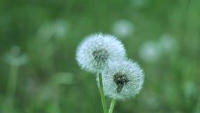Dos bolas blancas del diente de león balancean del viento en la hierba verde almacen de metraje de vídeo
