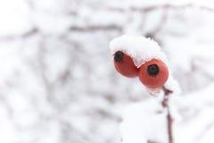 Dos briars cubiertos en nieve Fotos de archivo libres de regalías