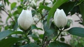 Dos brotes blancos/pureza/boda Foto de archivo libre de regalías
