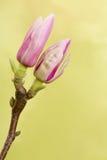Dos brotes de la magnolia Fotografía de archivo