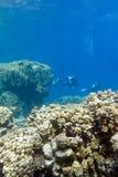 Dos buceadores sobre el arrecife de coral en la parte inferior del mar tropical en fondo del agua azul Foto de archivo libre de regalías