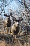 Dos Buck Deer Walking abajo de una primera trayectoria Imagen de archivo libre de regalías