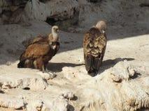 Dos buitres en las rocas Foto de archivo
