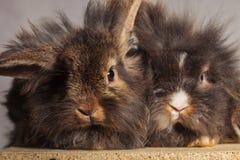 Dos bunnys adorables del conejo de la cabeza del león que se sientan junto Imagen de archivo