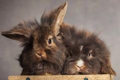 Dos bunnys peludos del conejo de la cabeza del león que mienten junto Imagen de archivo libre de regalías