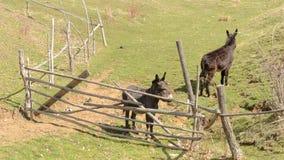Dos burros acercan al obstáculo almacen de metraje de vídeo