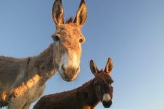 Dos burros divertidos foto de archivo libre de regalías