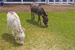 Dos burros en el corral Foto de archivo libre de regalías