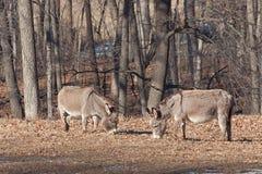 Dos burros pastan en una granja fotos de archivo libres de regalías