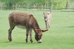 Dos burros que pastan Fotografía de archivo libre de regalías