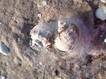 Dos cáscara Rapana en la orilla del mar imagen de archivo libre de regalías
