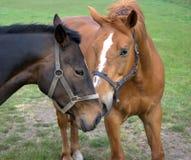 Dos caballos Imágenes de archivo libres de regalías