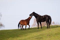 dos caballos Fotos de archivo