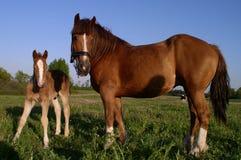 Dos caballos Fotos de archivo libres de regalías