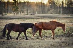 dos caballos Imagen de archivo