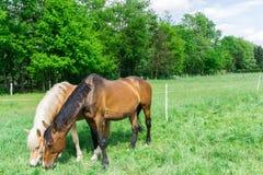 dos caballos foto de archivo