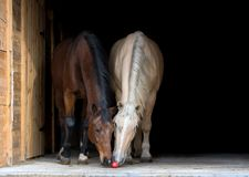 Dos caballos aislados en fondo negro Fotos de archivo libres de regalías