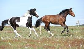 Dos caballos asombrosos que corren junto Imagen de archivo libre de regalías