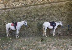 dos caballos ataron en una pared en Lastra un Signa Imagen de archivo libre de regalías
