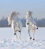 Dos caballos blancos como la nieve galopantes fotos de archivo
