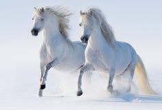 Dos caballos blancos como la nieve galopantes Imágenes de archivo libres de regalías