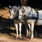 Dos caballos blancos del trabajo con los arneses y los intermitente enganchados a Fotos de archivo libres de regalías